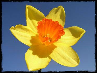 daffodil2.jpg. 2